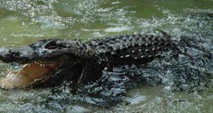 Aligator Muja (foto: Beo zoo-vrt)