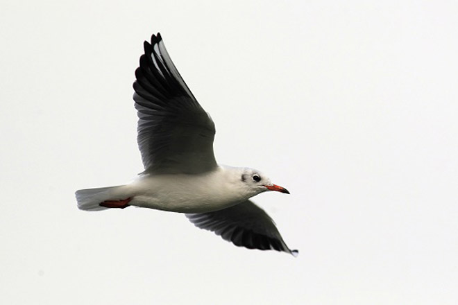 ptice-beograda-irena-herak-galeb