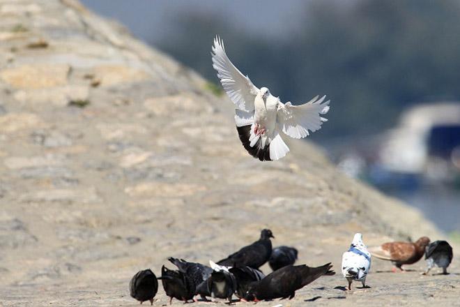 ptice-beograda-irena-herak-golubovi