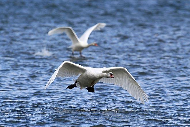 ptice-beograda-irena-herak-labudovi-2