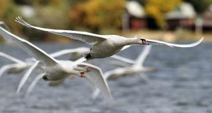 Ptice Beograda, labudovi na Zemunskom keju