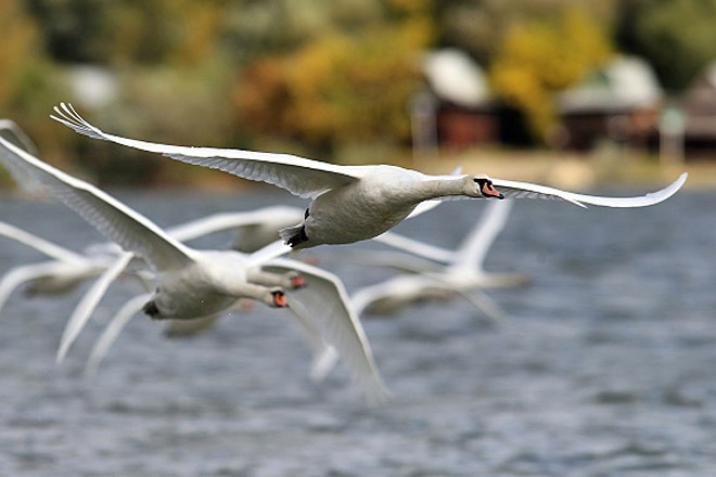 ptice-beograda-irena-herak-labudovi.jpg