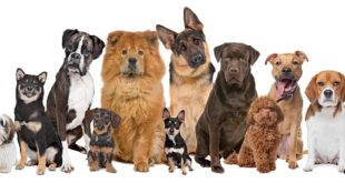Idealne rase pasa pogodne za držanje u stanu; foto:: Shutterstock