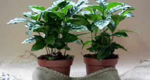 Kafa: Biljka kafe, Coffea arabica