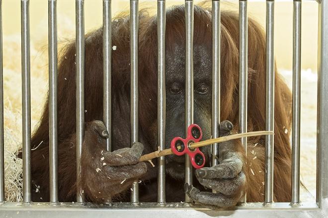 Bećki zoo vrt - orangutanica i spiner