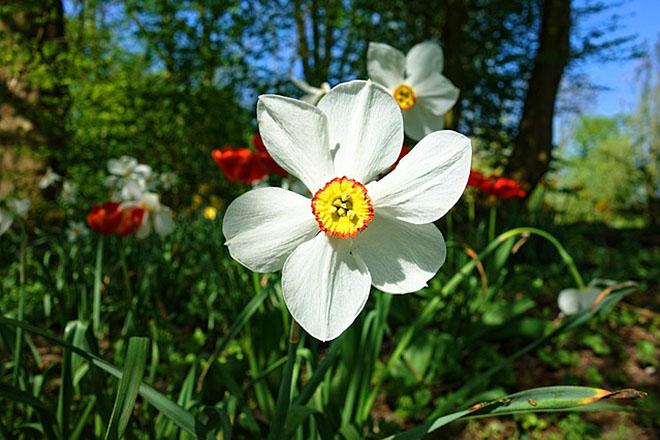 Narcis, cvet sa legendom i poukom