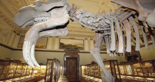 Digitalizacija Prirodnjačkog muzeja u Beču (foto: Prodeinotherium bavaricum. Češka. 16 miliona godina © NHM Wien)