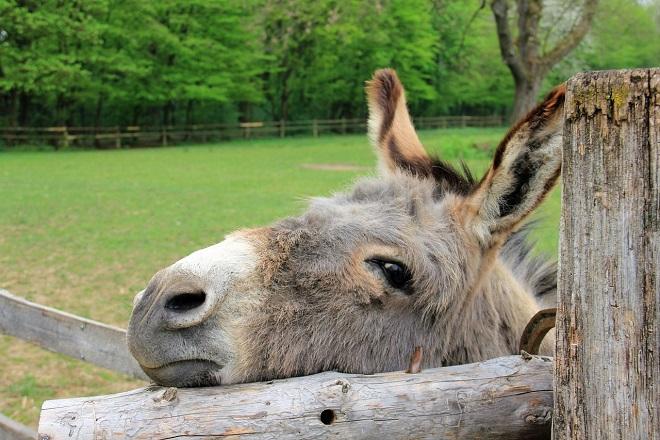 Da li znate... da je uhapšeni magarac bio u pritvoru nekoliko dana (foto: Pixabay)