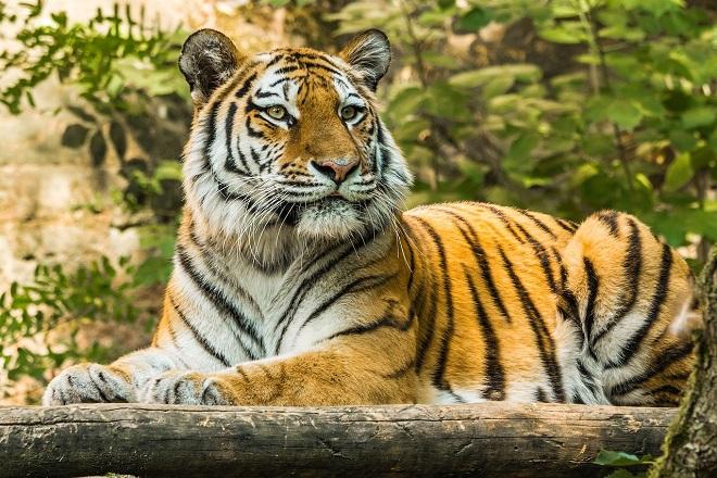 Da li znate... da će tigar ubica tri osobe biti doživotno zatočen u zoo-vrtu (foto: Pixabay)