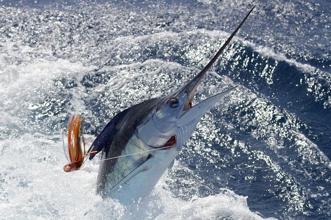 Da li znate... da je Majkl Džordan upecao sabljarku od 200 kg (foto: swordfishmike / Shutterstock)