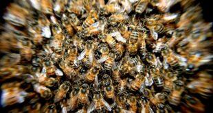 Da li znate... da je Indijac držao roj pčela na glavi duže od četiri sata (foto: Pixabay)