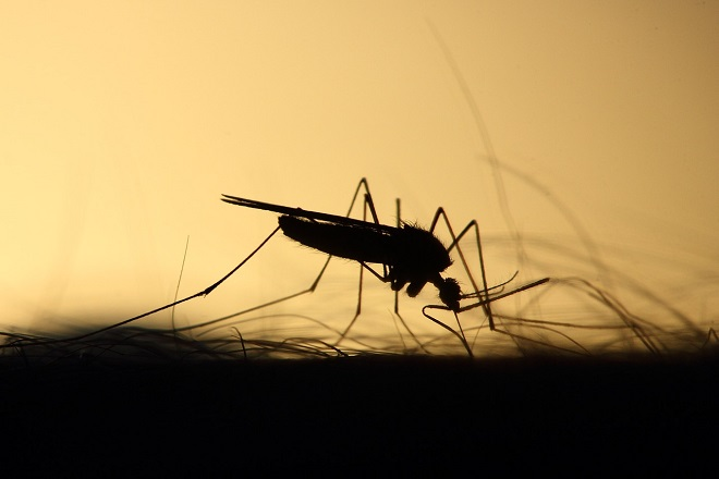 Da li znate... da komarci u 83 odsto slučajeva sleću na osobe na nultom krvnom grupom (foto: Pixabay)
