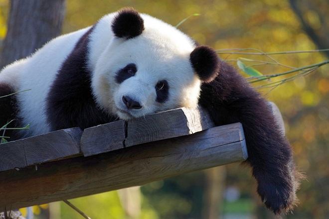 Da li znate... da je najstarija panda na svetu proslavila 38. rođendan (foto: Pixabay)