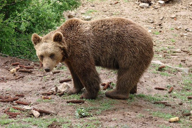 Prirodnjački muzej: Medved (foto: M. Paunović)