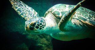 Da li znate... da stručnjaci majonezom čiste organizme morskih kornjača koje su se otrovale naftom (foto: Pixabay)
