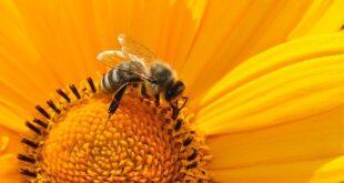 Da li znate... da je pčela 2019. proglašena za najvažnije biće na Zemlji?! (foto: Pixabay)